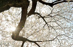 [TF스케치] '여의도 봄꽃축제'…벚꽃, 한강, 그리고 사람
