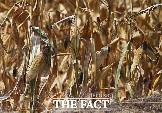 강원도 홍천의 한 밭에서 옥수수가 말라비틀어져 죽어가고 있다.