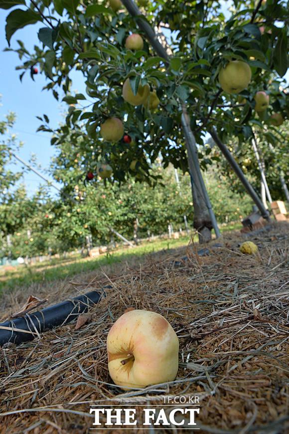 일소병에 걸린 사과가 바닥에 떨어져 있다.