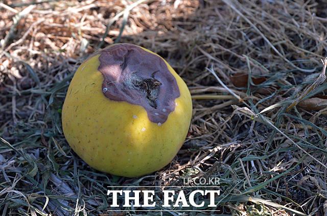 바닥에 떨어진 채 썩어가는 사과.