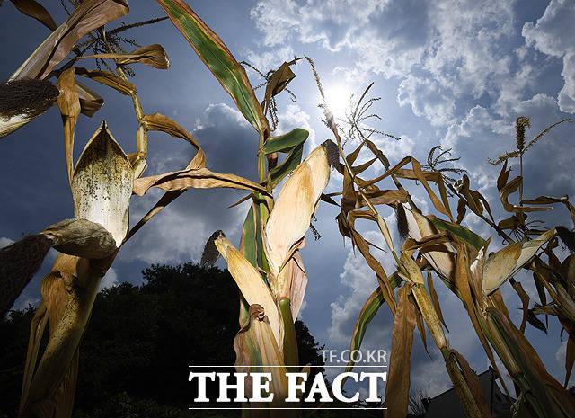 전국이 35도 안팎으로 뜨거운 폭염을 이어가고 있는 14일 오후 강원도 홍천의 한 밭에서 옥수수가 말라 죽어가고 있다. / 홍천=배정한 기자