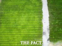 [TF포토] 폭염 씻는 싱그러운 '초록 녹차밭'