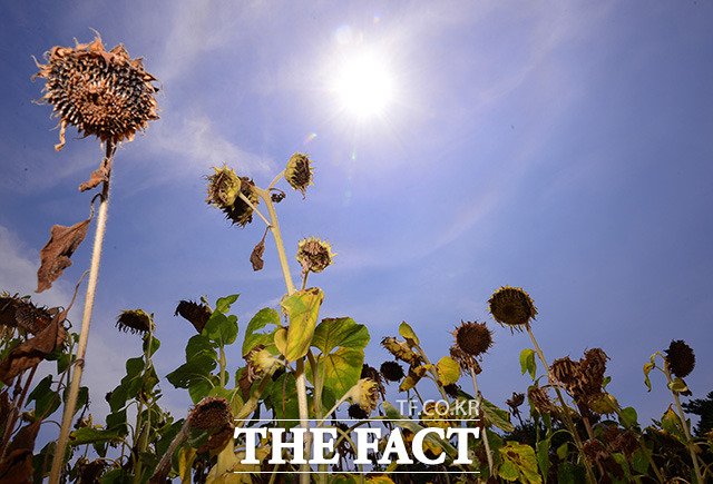 경기도 화성시 매화리에 위치한 한 밭에는 강한 햇빛을 견디지 못해 시들어버린 해바라기들만 가득하다. /화성=남용희 기자