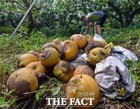[TF포토기획] 추석 과수 농가 비상, 폭염 ·폭우로 타버린 농심