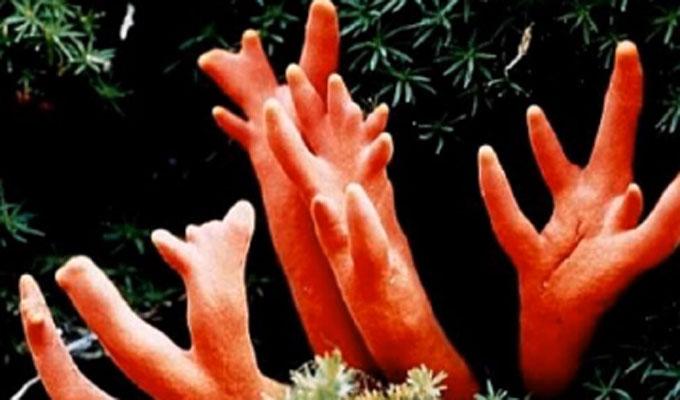 맹독성의 붉은사슴뿔버섯. 성묘 후 산에서 잣 또는 밤, 버섯 등을 채취하다 적발되면 벌금 5000만 원에 처할 수 있다. /유튜브 갈무리
