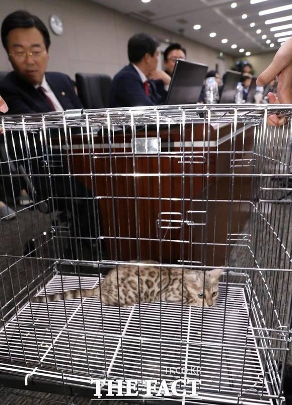 벵갈 고양이가 철창에 갇혀 국정감사장에 들어오고 있는 가운데 겁먹은 듯 잔뜩 웅크리고 있다. /뉴시스