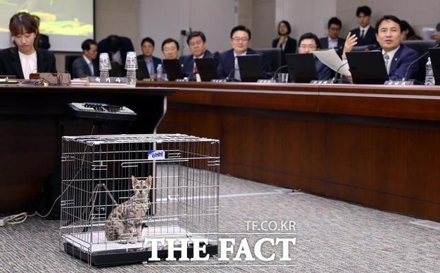 김진태 의원은 이날 벵갈 고양이를 감사장에 데려와 화제의 중심에 섰다. 김 의원이 벵갈 고양이를 바닥에 두고서 질의를 이어가고 있다. /뉴시스