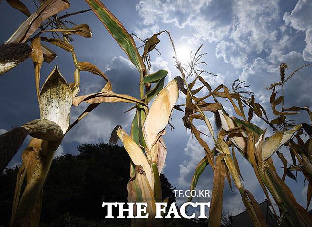 상상 초월 폭염 피해, 수확할 옥수수가 없다 전국이 35도 안팎으로 뜨거운 폭염을 이어가고 있는 8월 14일 강원도 홍천의 한 밭에서 옥수수가 말라 죽어가고 있다./배정한 기자