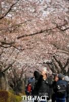 [TF포토] 여의도 봄꽃축제 개막…'벚꽃 품에 안긴 관광객들'