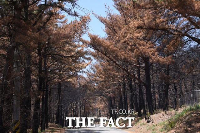 갈색 소나무? 토성면 광포호길 도로변의 소나무들이 초록빛을 잃고 갈색으로 변해 있다.