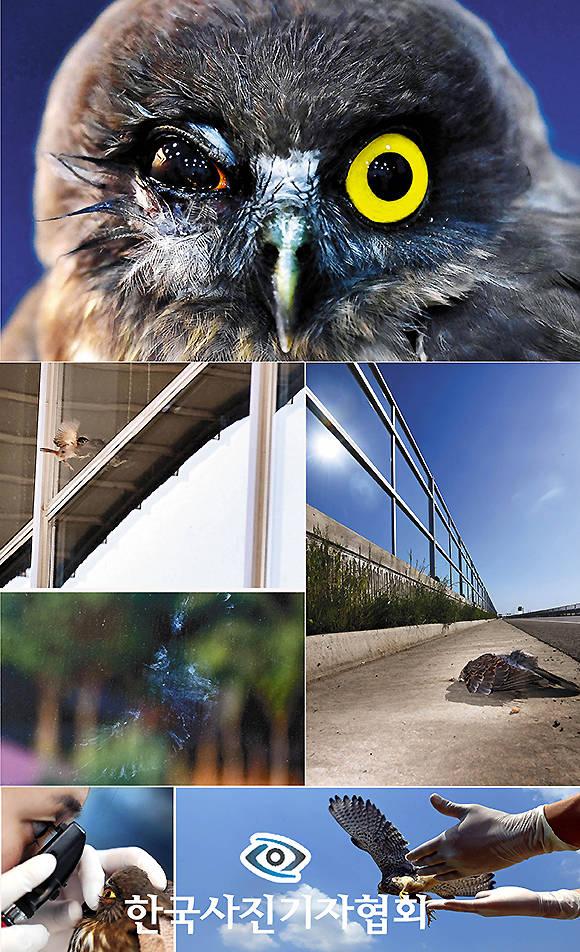 <56회 한국보도사진상 - 최우수상> 국립생태원이 환경부에 제출한 인공구조물에 의한 야생조류 폐사방지 대책수립 연구의 최종보고서에 따르면 전국적으로 유리창 충돌로 하루 2만 마리, 연간 800만마리의 새들이 투명 유리창과 방음벽에 충돌해 폐사한다. 이는 10개월간(2017년 11월부터 2018년 10월까지) 전국의 불특정 다수의 지점 56개소(건물 유리창 12개 광역시도 30개소, 투명 방음벽 10개 광역시도 26개소)를 대상으로 측정해 시뮬레이션을 만 번정도 돌려 산출한 수치다. <윤성호 기자/ 국민일보/ 한국사진기자협회 - 무단전재 재배포금지>