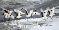 [TF포토기획] 철원 눈밭 노니는 멸종위기종 두루미
