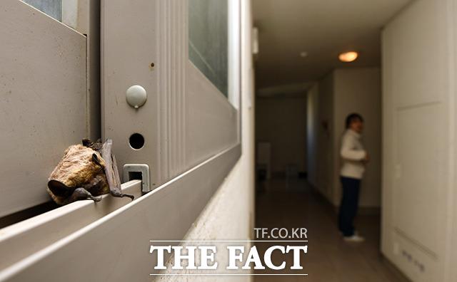 지난달 21일 오후 서울 강동구 암사동의 한 아파트에서 주민 신고로 발견된 안주애기박쥐가 아파트 복도 창틀에서 구조를 기다리고 있다.