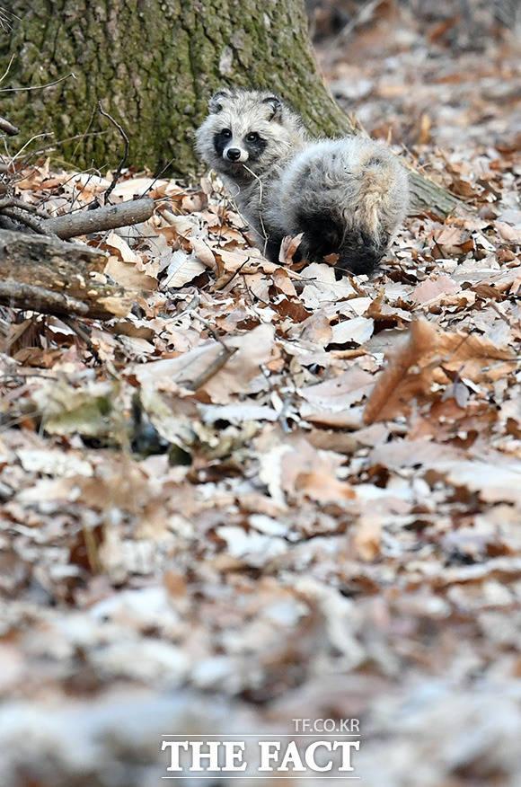 숲속으로 돌아간 너구리가 고맙다는 인사를 하듯 재활관리사를 바라보고 있다.