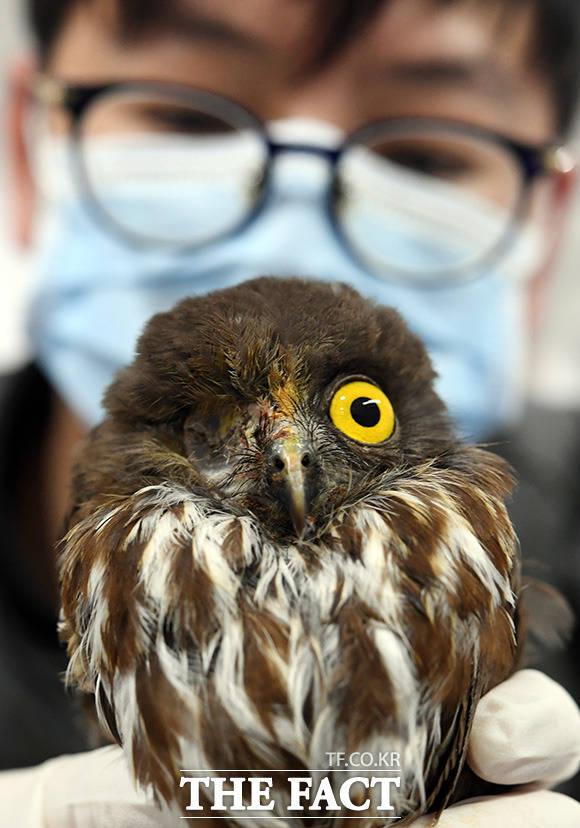 충돌 사고로 한쪽 눈을 적출한 솔부엉이가 19일 오후 서울 관악구 서울시야생동물센터에서 재활을 받고 있다.