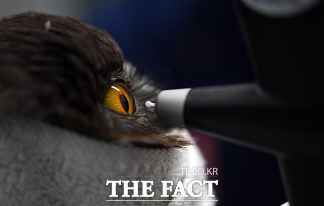 의료진이 지난달 6일 충돌 사고로 한쪽 눈을 잃은 솔부엉의 안압을 확인하고 있다.