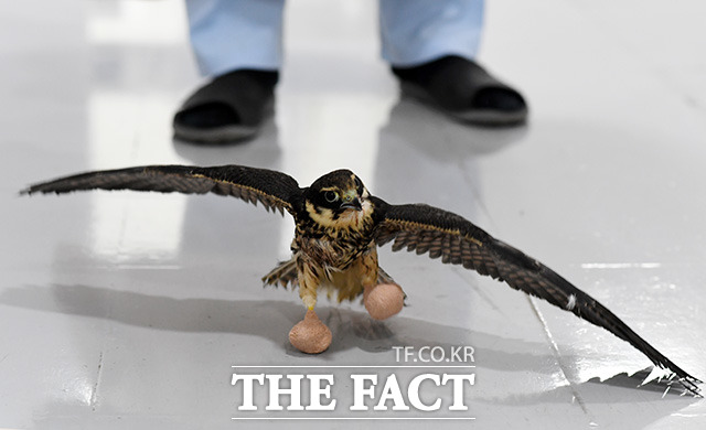 발가락 치료를 마친 새호리기가 발에 깁스를 하고 뒤뚱뒤뚱 걸음을 내딛고 있다.