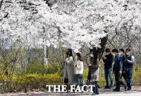 [TF사진관] '아쉽지만 내년에 만나요~' 통제 앞둔 윤중로 벚꽃길