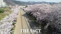 [TF사진관] '진해군항제 취소, 텅 빈 벚꽃 명소'