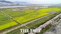 [TF사진관] '낙동강 따라 펼쳐진 노란 유채꽃 물결'