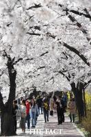 [TF포토] '벚꽃 만개한 윤중로'