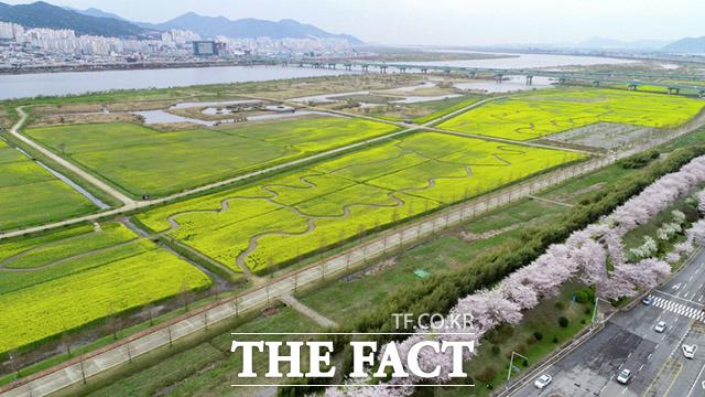 낙동강변을 따라 만개한 부산 낙동강 유채꽃 단지, 부산시는 행사를 취소했지만 유채꽃은 그대로 남겨놓았다.