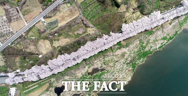 하지만... 만개한 벚꽃을 보기위해 몰려드는 관광객들.