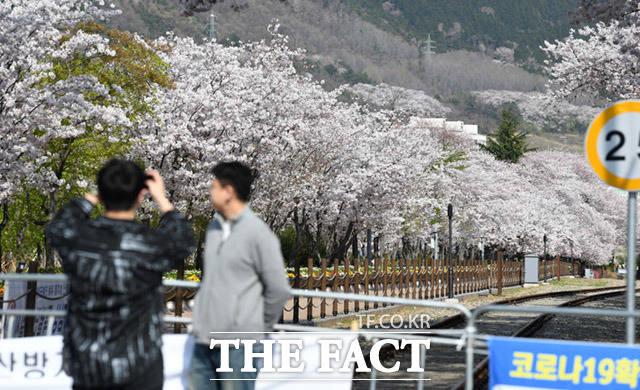 관광객들 뒤로 만개한 벚꽃.