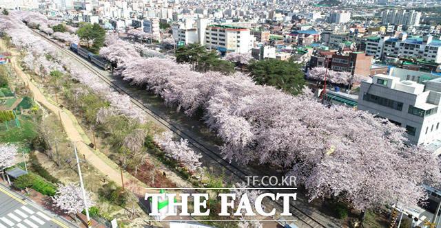 매년 전국에서 벚꽃을 보기위해 몰려드는 진해의 경화역은 폐쇄조치로 인해 텅 비어 있다.