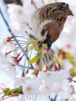 [TF사진관] '흔들리는 벚꽃 속에서~'