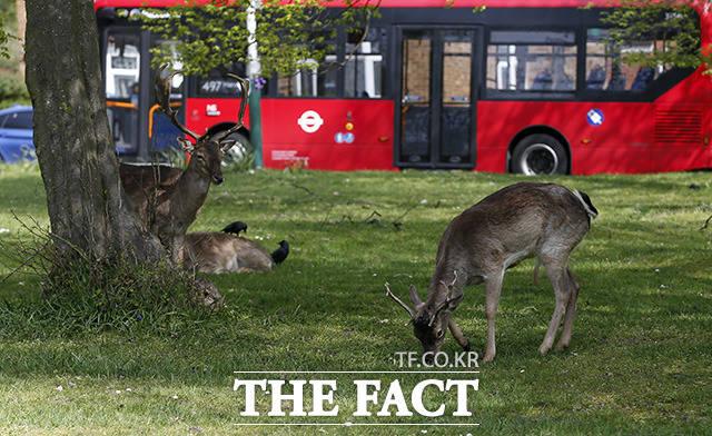 코로나19 사태로 인적을 찾기 어려워지자 다마사슴(Fallow Deer)들이 영국 런던 주택가 인근에서 한가로이 풀을 뜯으며 여유를 즐기고 있다.