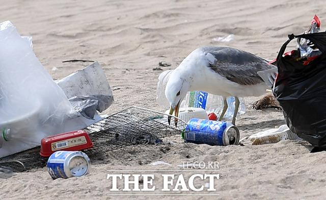 버려진 쓰레기 사이에서 먹이를 찾는 갈매기.