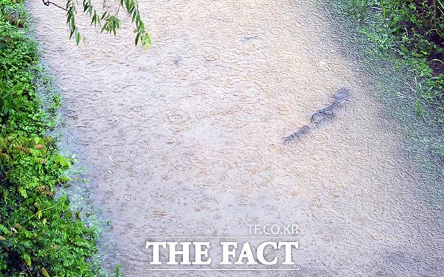물이 불어난 샛강상태공원의 산책로에 물고기 떼가 헤엄을 치고 있다.
