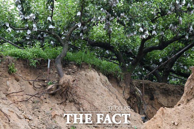 집중호우로 과수원 나무의 뿌리가 드러나 있다.