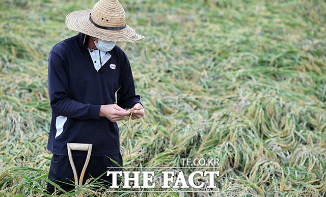 9월 3일 태풍 마이삭의 영향으로 경기도 이천 율면 석산리에서 한 농부가 강풍으로 쓰러진 벼를 살펴보고 있다.