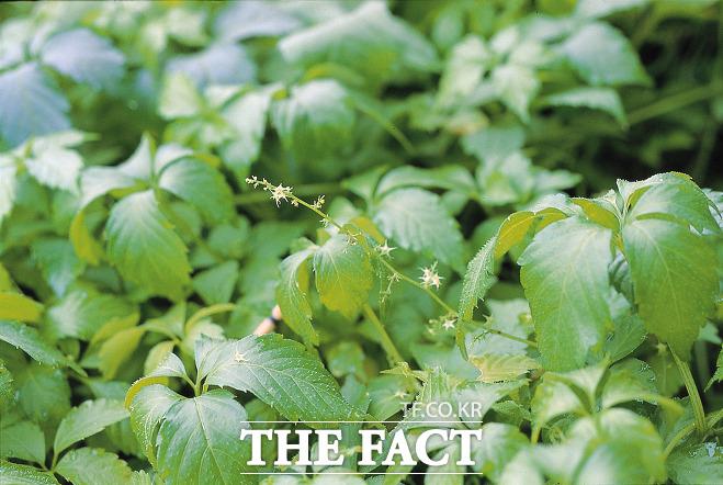 제주특산식물인 돌외에서 강력한 항바이러스 효능을 가진 소재가 뱔견, 특허출원됐다. 사진은 제주특산식물인 돌외 / 제주테크로파크 제공)