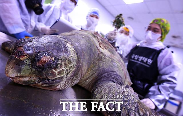 플라스틱 이물질 등이 바다거북 몸속으로 유입돼 장 천공을 일으키고 그로 인해 복막염이 발생돼 고통스러운 죽음을 일으킨다.