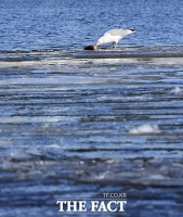 [TF포토] 얼어붙은 강물 위에서 먹이활동 하는 갈매기