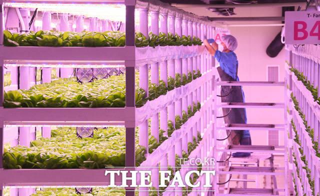 빼곡하게 자라는 채소들. 이처럼 스마트팜은 좁은 면적에도 생산을 극대화 할 수 있다.