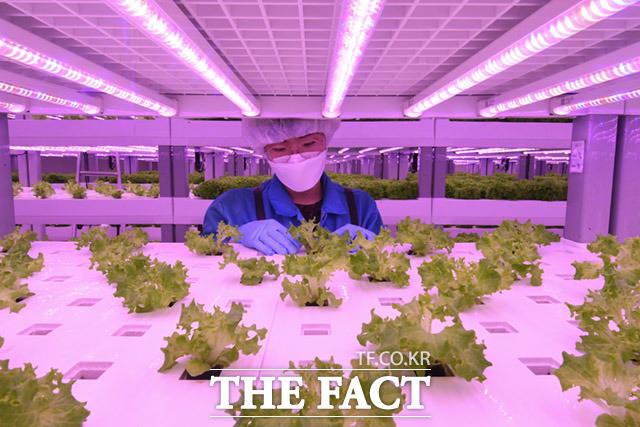 자리 재배치 과정인 이식을 마친 채소들.