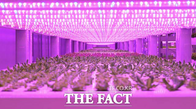 식물 생장에 최적화된 LED광원을 통해 태양광을 이용하지 않아도 안정적인 광합성 작용이 가능하다.
