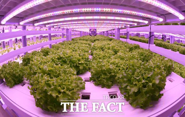 미래 한국 농업의 앞날은? 스마트팜은 안정적인 재배환경을 구축해 계절적 불안요소를 해소하고 면적 대비 생산성을 극대화 하고 있다. 이를 통해 국내 농업이 점차 고부가가치 산업으로 탈바꿈하고 있다.