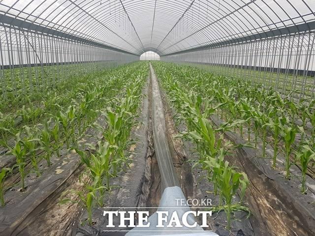 괴산군 농업기술센터가 대학단옥수수 친환경 하우스 재배 시험을 하고 있다. 충북지역에서 친환경농업이 확산하고 있는 가운데 청주시와 괴산군에 확산세가 뚜렸하다. / 괴산군 제공