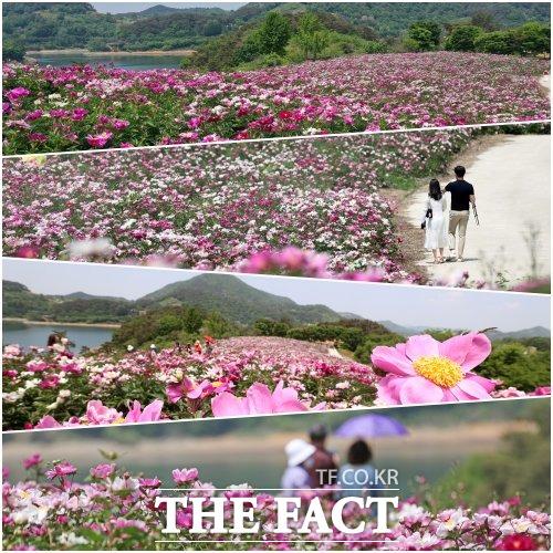천혜의 자연경관을 지닌 전북 임실군 옥정호 수변에 활짝 핀 작약꽃이 만개해 탐방객들의 큰 인기를 끌고 있다. /임실군 제공