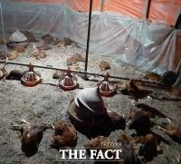 김해 양계장 개(犬) 떼 습격에 닭 1000여 마리 폐사