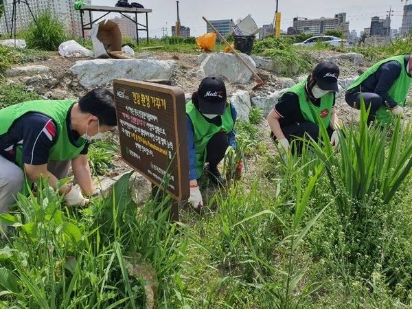 한국건강관리협회 대전충남지부에서 대전천에 노랑꽃창포 500그루를 추가식재 하고 있다. / 건협 제공