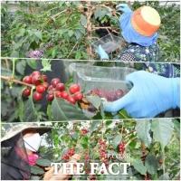 '순창산 커피' 올해 첫 수확... 고급화 전략 모색
