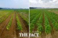 충북도농기원, 들깨 수확량 늘리는 방법 소개… 개화기 요소 추비