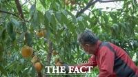 '과일의 고장' 충북 영동, 복숭아 출하 한창