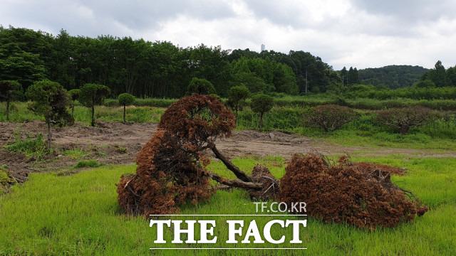 11일 옛 충남도청에서 대전 양묘장으로 옮겨진 향나무들, 일부 향나무는 고사된 상태다. / 최영규 기자